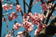 cherryblossom-bees-wm-10