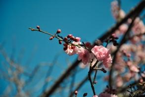 cherryblossom-bees-wm-11