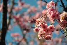 cherryblossom-bees-wm-13