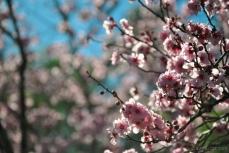 cherryblossom-bees-wm-14