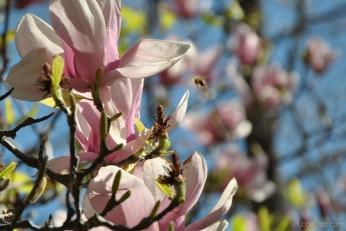 cherryblossom-bees-wm-15