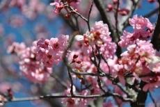 cherryblossom-bees-wm-18