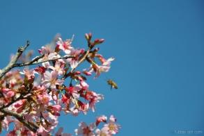 cherryblossom-bees-wm-2