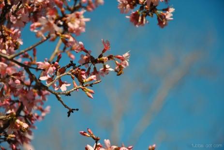 cherryblossom-bees-wm-3