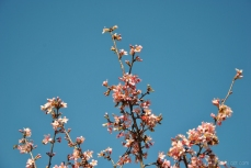 cherryblossom-bees-wm-4