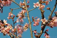 cherryblossom-bees-wm-5