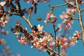 cherryblossom-bees-wm-6