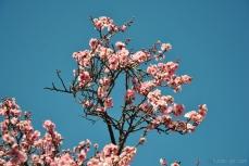cherryblossom-bees-wm-7