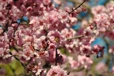 cherryblossom-bees-wm-8