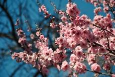 cherryblossom-bees-wm-9